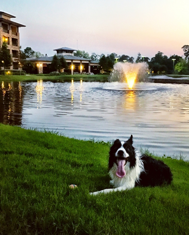 Happy dog lying in the grass with pond fountain in the background